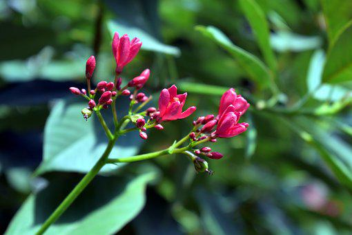 Peregrina, Spicy Jatropha, Shrub, Green, Nature, Red