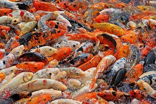 Fish, Animal World, Fish Feed, Nature, Pond, Water