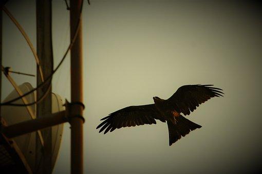 Black, Kite, Bird, Milvus Migrans, Predator, Flight