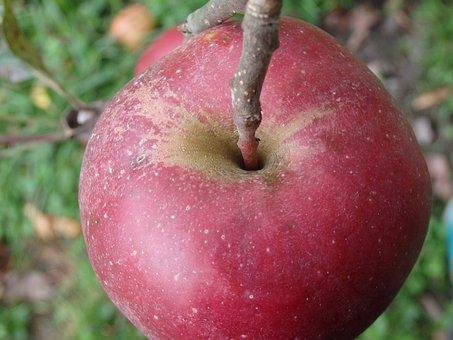 Apple, Stengel, Stalk, Red, Fruit, Branch, Ripe