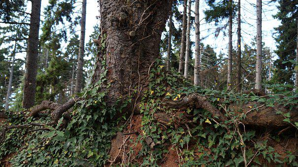 Tree, Root, Forest, Nature, Preserve, Trabzon
