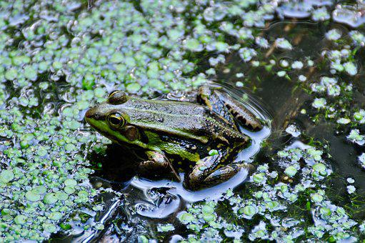 Frog, Pond, Waterweed, Green, Nature, Water Frog