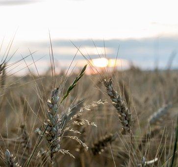 Countryside, Wheat, Field, Nature, Summer, Farm