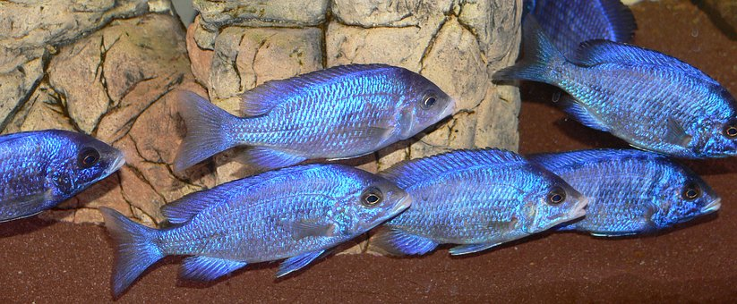 Whitelips, Placido Chromis Phenochilus