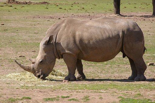 Rhino, Rhinoceros, Zoo, Animal, Wild, Wildlife, Mammal