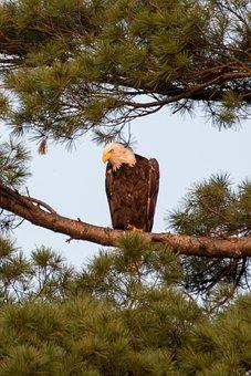 Bald Eagle, America, Nature, Freedom, Raptor, Animal