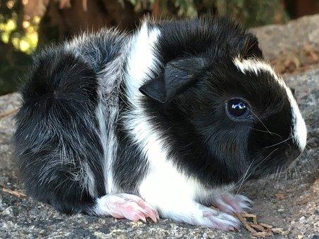 Pedigree, Guinea Pig, Sheba, Baby, Breed