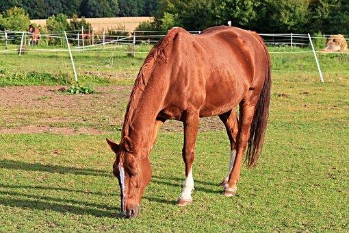 Horse, Paddock, Coupling, Pasture, Animal, Brown, Graze