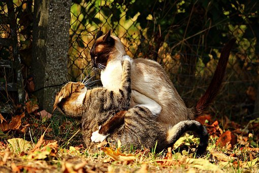 Cat, Fight, Tussle, Kitten, Siamese Cat, Play, Siamese
