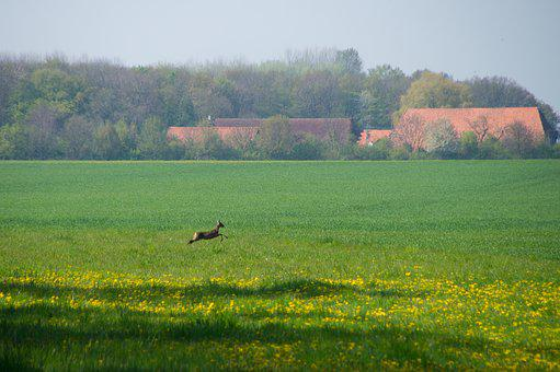 Field, Roe Deer, Escape, Jump, Farm, Hunting
