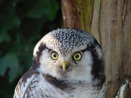 Owl, Eyes, Birds, Nature, Owls, Animal, Eye