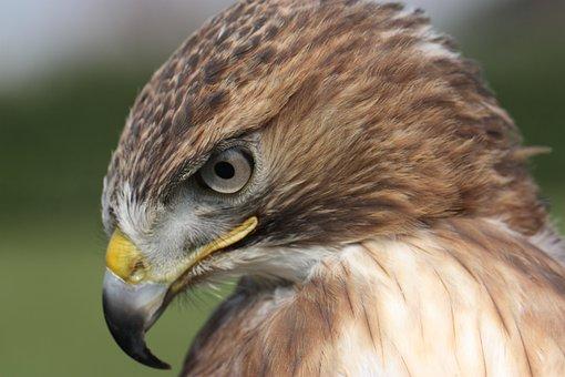 Buzzard, Codarossa, Falco, Raptors, Buteo Jamaicensis