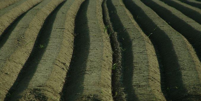 Asparagus, Spargelbeet, Furrow, Ridge, Seed, Harvest