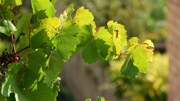Grapevine, Twig Vine, The Leaves Of The Vine, Wine