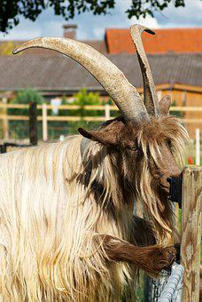 Goat, Large, Horns, Fur, Hair, Rarely, Copper Neck Goat