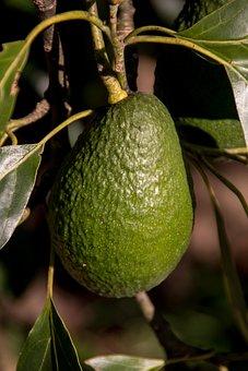 Hass Avocado, Fruit, Tree, Ripe, Food, Healthy, Green