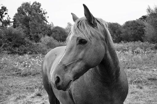 Horse, Mare, Photo Black White, Equine, Domestic Animal