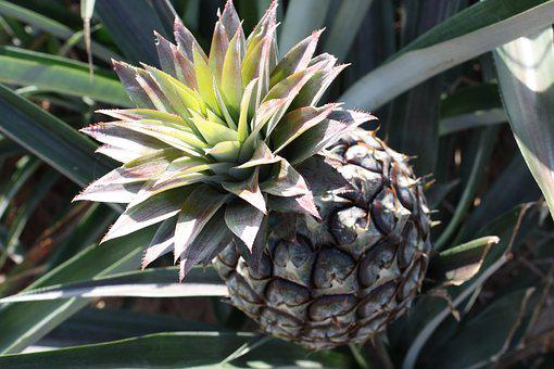 Pineapple, Sour, Food, Cultivation, Tenders