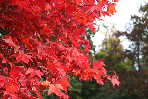 Bodnant Gardens, Tree, Leaves, Red, Nature, Natural