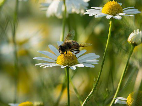 Standing Fly, Schwirrfliege, Chamomile, Color, Flower