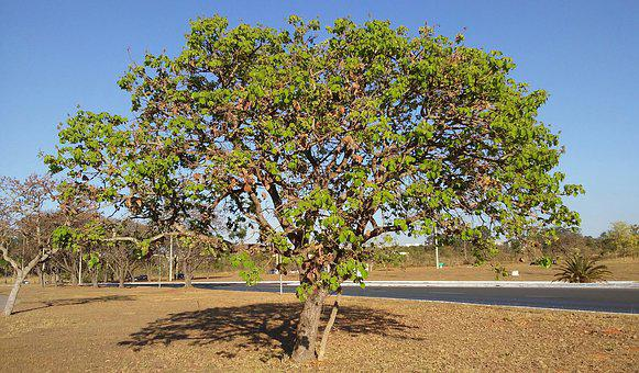 Pequi, Cerrado, Tree, Sustainability, Urban Landscape
