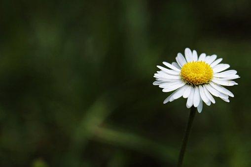 Daisy, Tausendschön, Monatsroeserl