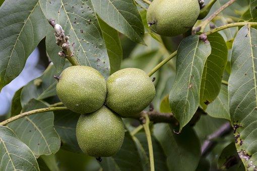 Plant, Tree, Walnut, Garden, Nature, Green, Fruit