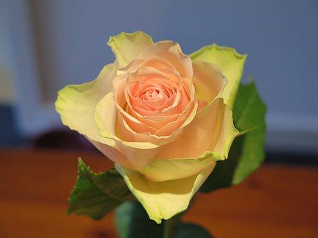 Rose, White, Cream, Pink, Flower, Petals, Summer