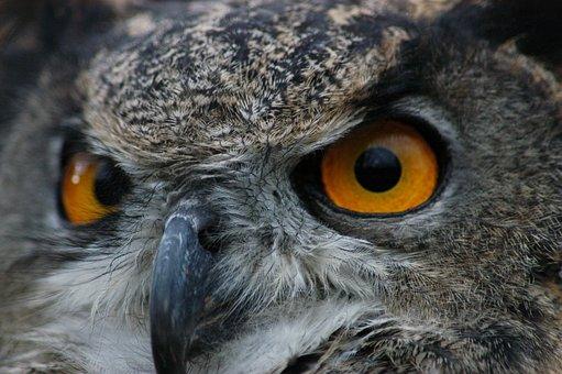 European, Owl, Bird, Nature, Wildlife, Predator, Animal