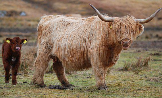 Highland Cow, Scotland, Highland, Cow, Cattle, Animal