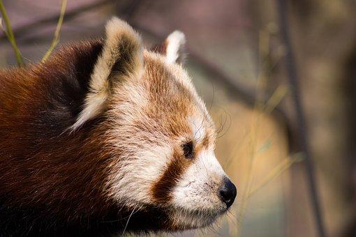 Red Panda, Red Panda Bear, Panda, Animals, Zoo, Fluffy
