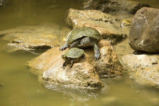 Turtle, Water, Stone, Pond, Nature, Background, Animal