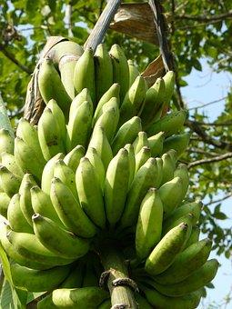 Bananas, Green, Stalk, Food, Fruit, Fresh, Organic