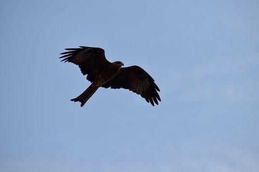 Milvus Migrans, Kite, Flight, Predator, Bird, Blue Sky