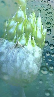 Flower, Green, Nature, Bless You, Garlic Flower, Water