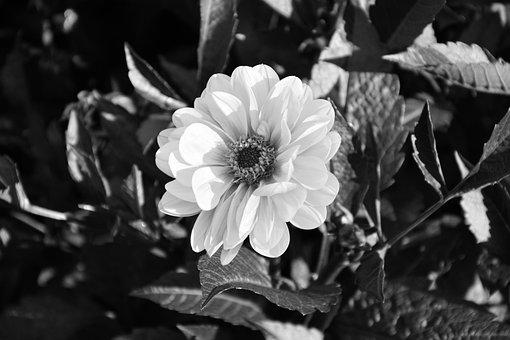 Flower, Photo Black White, Bouquet, Nature, Garden
