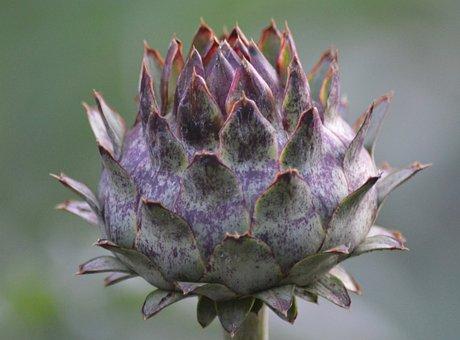 Decorative, Plant, Garden, Artichoke, Cardunculus