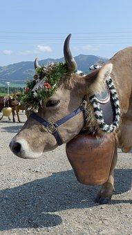 Viehscheid, Alpe Ornach, Bolsterlang, Oberallgäu, Cow