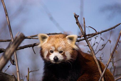 Red Panda, Panda, Animals, Cute, Mammal, Zoo, Bear