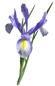 Dutch Iris, Blue, Flower Cut Out