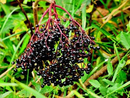 Elder, Black, Fruits, Nature, Autumn