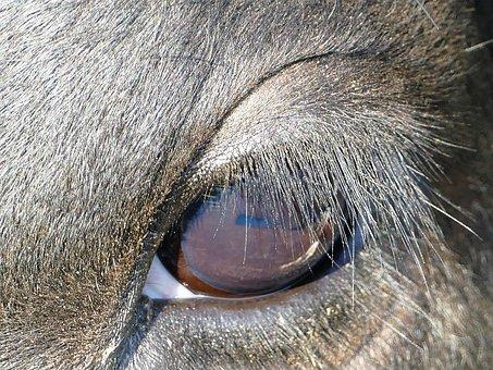 Eye, Cow, Eyelashes, Close, Kuhauge