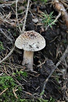 Perlpilz, Forest, Forest Mushroom, Autumn, Mushroom