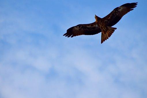 Black Kite, Milvus Migrans, Raptor, Bird, Gliding