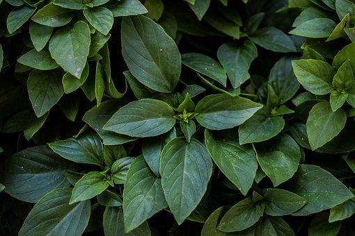 Basil, Plant, Herb, Fresh, Green, Healthy, Natural