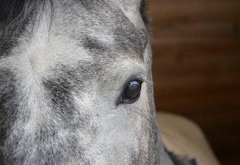 Horse, Eye, Eye Brown Muzzle, Grey, Look, Horse Eye