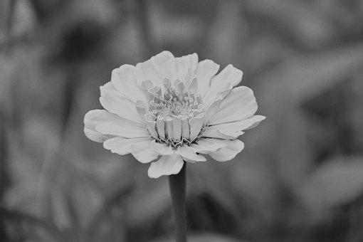 Flower, Photo Black White, Nature, Bouquet, Massif