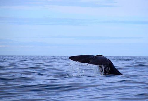 Sperm Whale, Norway, Nordland, Wal, Fin, Marine Mammals