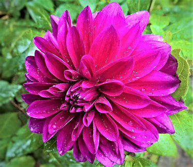 Plant, Dahlia, Flower Garden, Single Bloom, Dark Purple