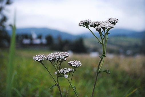 Flowers, Mountains, Green, Plants, Poland, Summer